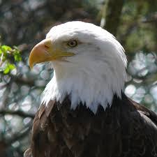 eagle symbolism eagle meaning spirit animal totem messages