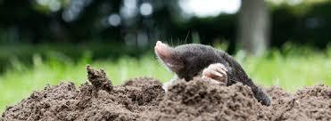 Moles Blind Differences Between Moles Voles U0026 Shrews Ehrlich Pest Control