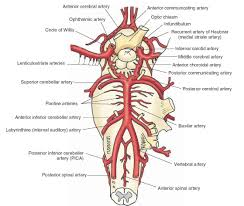 Exercise 17 Gross Anatomy Of The Brain And Cranial Nerves Circle Of Willis Blood Supply Of The Brain Medical
