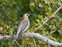 juvenile cedar waxwing pacific nw birder