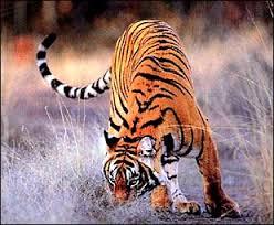 africa awaits endangered china tiger china org cn