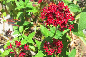 Pentas Flower How To Care For A Penta Plant Hunker