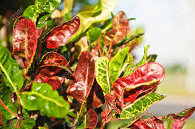 croton leaves plant is a beautiful color widely cultivated as