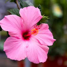 native hawaiian plant nursery home u0026 garden showplace garden center kingsport tn