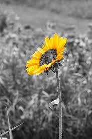 102 best sunflowers images on pinterest sunflowers beautiful