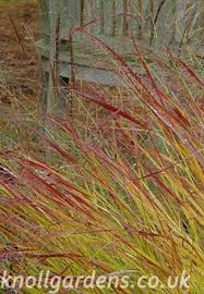 sorghastrum nutans buy ornamental grasses shops plants and