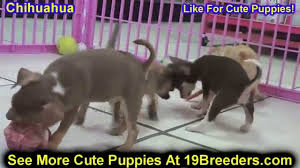 Alb Craigslist Free by Chihuahua Puppies Dogs For Sale In Albuquerque New Mexico Nm