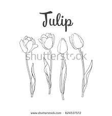 drawn tulip closed flower pencil and in color drawn tulip closed