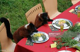 lemurs enjoy thanksgiving feast at san francisco zoo photos and