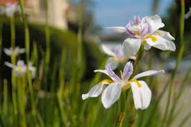 iris flowers free stock photo of 2 white purple yellow iris flowers among stems