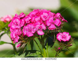 Sweet William Flowers Wild Sweet William Stock Images Royalty Free Images U0026 Vectors
