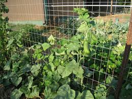 backyard farming trellis cucumbers