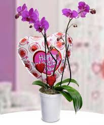 valentine orchids exotic phalaenopsis orchids with a special