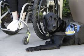 fake service dogs a growing problem nbc news