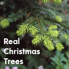 real christmas trees for sale real christmas trees wentwood real christmas trees newport south