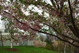 about buffalo cherry blossom festival may may 5 6 2018