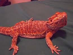 25 red bearded dragon ideas reptiles lizards