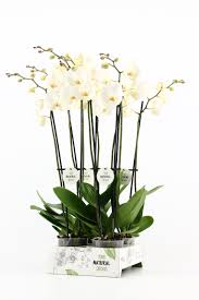 4 hole tray your natural orchid stolk flora