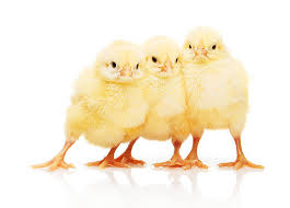 small chicken royalty free baby chicken pictures images and stock photos istock