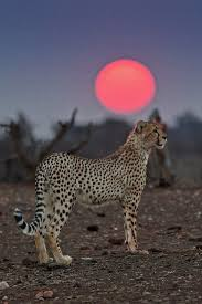 affectionate cheetahs wallpapers 844 best c h e e t a h s images on pinterest wild animals big