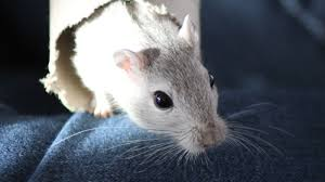 All Living Things Luxury Rat Pet Home by Rats Npr