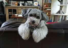 shih tzu haircuts what are the best shih tzu haircuts for summer quora