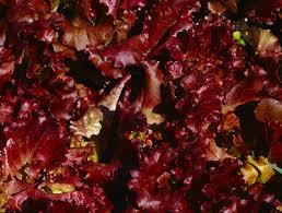 shop light for growing plants gardening blog lettuce grow best lettuce varieties growing indoors