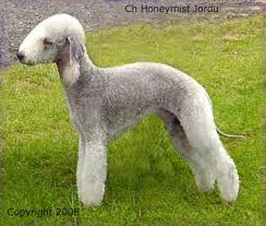 feeding a bedlington terrier bedlington terrier or rothbury terrier dog breed profile