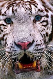 19 beautiful white tiger pictures