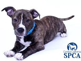 2 month old american pitbull terrier rocko is a 2 month old male brindle and white pit bull terrier