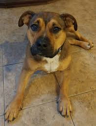 american pitbull terrier qualities american pit bull terrier rehoming