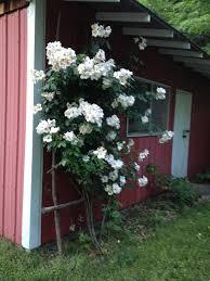 diy large rustic rose trellis hawk hill