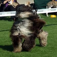 afghan hound mandarin dog breeds natural history page 59