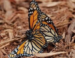 Monarch Design by Butterfly Hummingbird Haven Knoll Landscape Design
