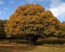 oak tree urdu translation and meaning the urdu dictionary