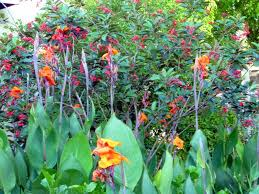 Canna Lilies Canna Lily Hybrids Adorn Our Botanical Gardens On Sanibel
