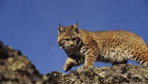 Florida Wild Animals images Facts on wild bobcats in florida animals mom me jpg
