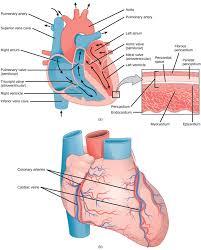 External Heart Anatomy Mammalian Heart And Blood Vessels Boundless Biology