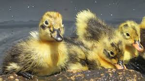 where to buy duck buy ancona duck hatching eggs breed