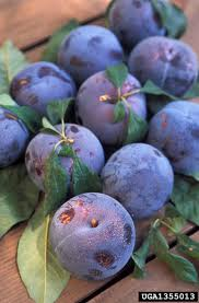 Purple Leaf Peach Tree by Identification Of Fruit Tree Diseases Common Disease Symptoms In