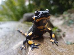 mein name ist salamander u2026 feuersalamander u2013 gartenstreifzug