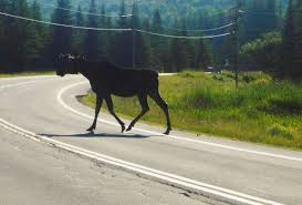 Vermont wildlife tours images Mostly moose cycling tour canaan vermont jpg