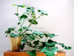 Fragrant Bedding Plants Scented Leaf Peppermint Scented Pelargonium