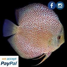 aquarium fish leopard skin discus buy discus fish for sale
