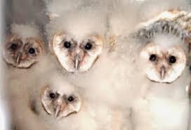 The Barn Owl Carol Stream The Owl U0027s Perch