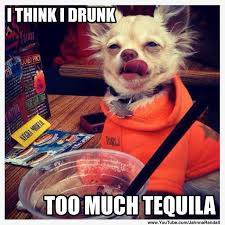 Funny Tequila Memes - gizmo the chihuahua loves his tequila imgur