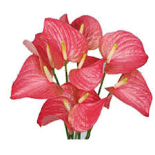 anthurium flower send flowers to hyderabad anthuriums flowers to hyderabad