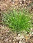 Image result for carex appalachica