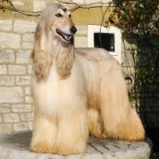 afghan hound weight dog breed of the month afghan hound emergency vet clinic of