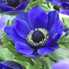 anemone plant mr fokker longfield gardens